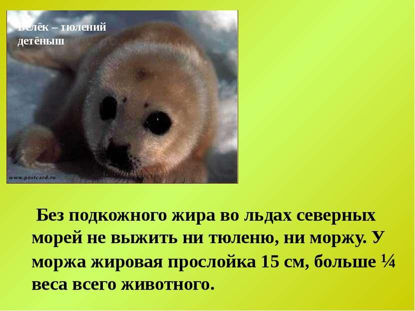 Белёк – тюлений детёныш Без подкожного жира во льдах северных морей не выжить...