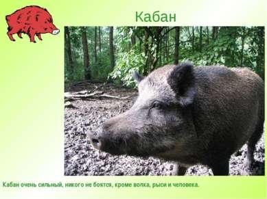 Кабан Кабан очень сильный, никого не боятся, кроме волка, рыси и человека.