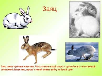 Заяц Заяц самое пугливое животное. Чуть услышит какой шорох – сразу бежать – ...
