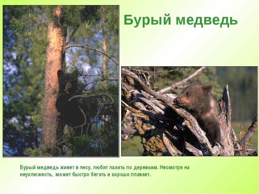 Бурый медведь Бурый медведь живет в лесу, любит лазить по деревьям. Несмотря ...
