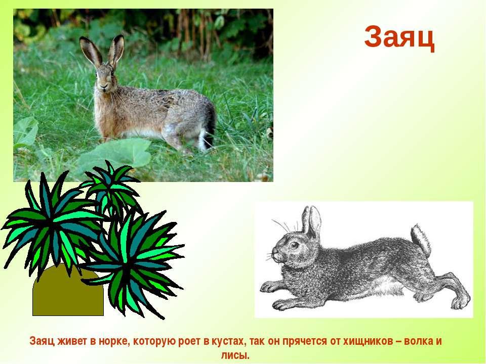 Заяц Заяц живет в норке, которую роет в кустах, так он прячется от хищников –...