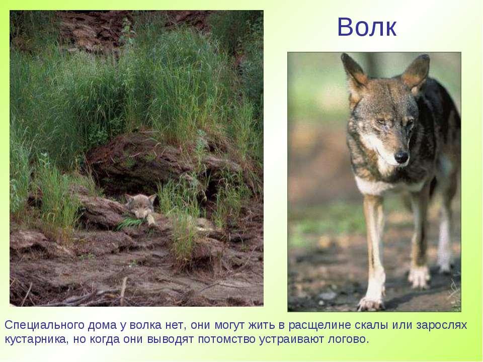 Волк Специального дома у волка нет, они могут жить в расщелине скалы или заро...