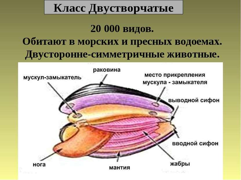 Класс Двустворчатые 20 000 видов. Обитают в морских и пресных водоемах. Двуст...