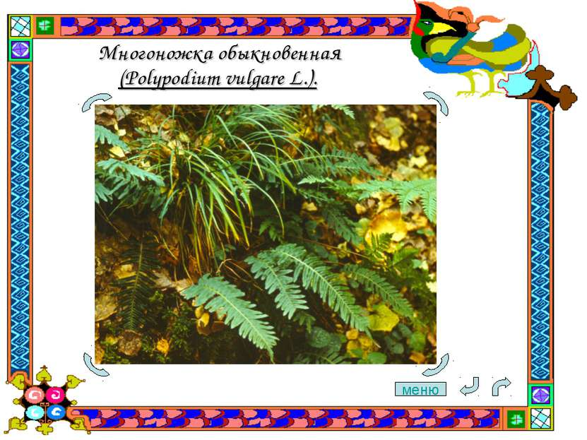 Многоножка обыкновенная (Polypodium vulgare L.). меню