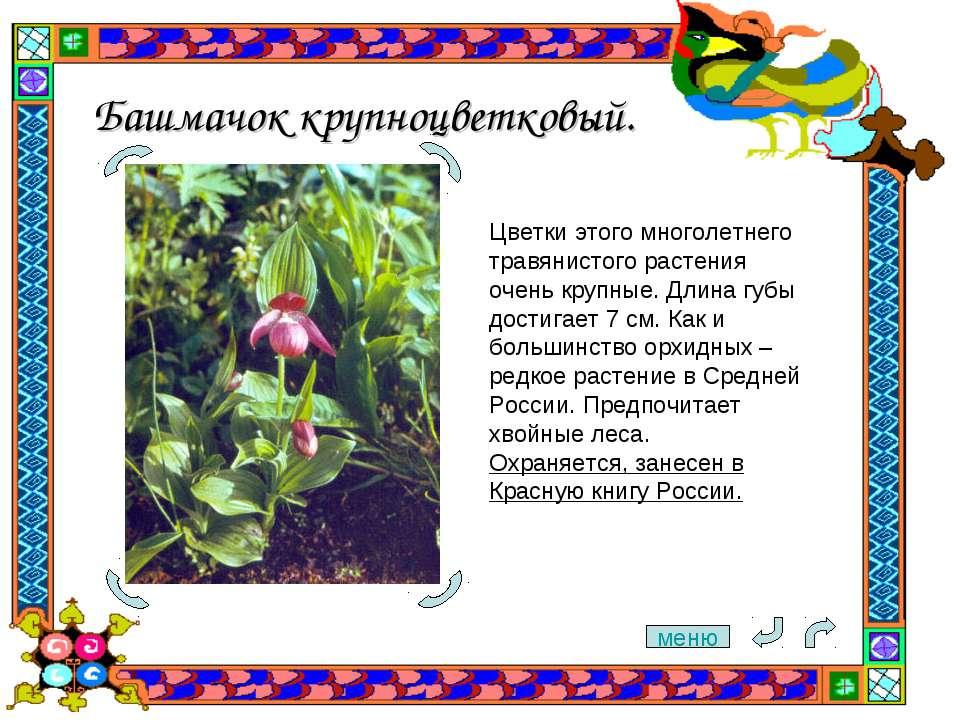 Башмачок крупноцветковый. Цветки этого многолетнего травянистого растения оче...