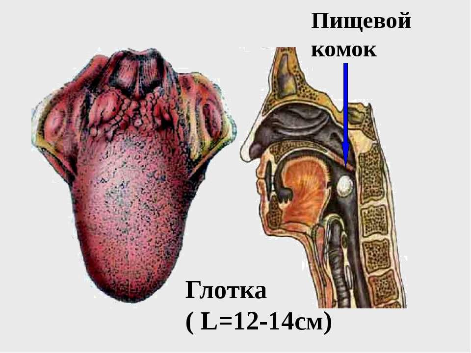 Пищевой комок Глотка ( L=12-14см)