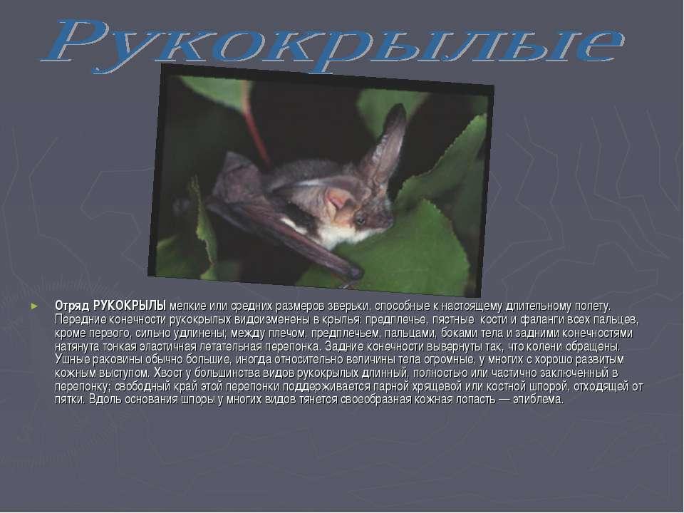 Отряд РУКОКРЫЛЫ мелкие или средних размеров зверьки, способные к настоящему д...