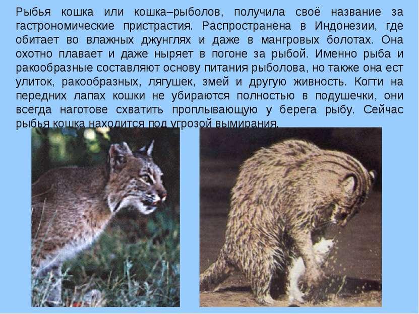 Рыбья кошка или кошка–рыболов, получила своё название за гастрономические при...