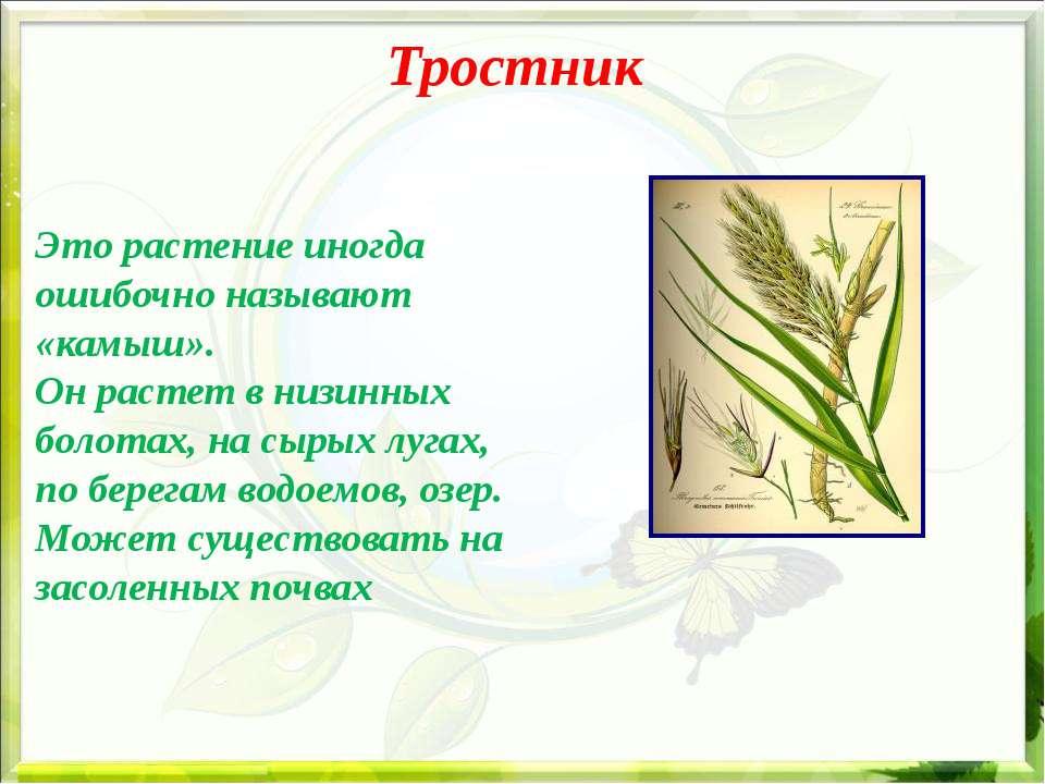 Тростник Это растение иногда ошибочно называют «камыш». Он растет в низинных ...