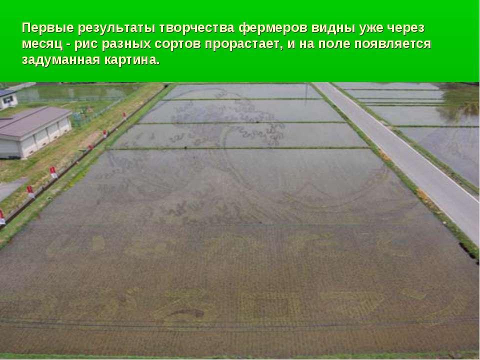 Первые результаты творчества фермеров видны уже через месяц - рис разных сорт...