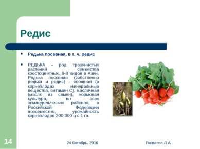 * Яковлева Л.А. * Редис Редька посевная, в т. ч. редис РЕДЬКА - род травянист...