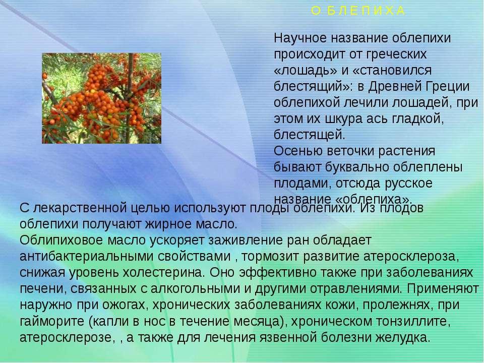 Научное название облепихи происходит от греческих «лошадь» и «становился блес...