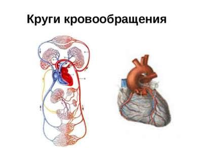 Круги кровообращения