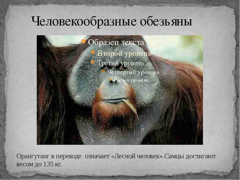 Человекообразные обезьяны Орангутанг в переводе означает «Лесной человек».Сам...