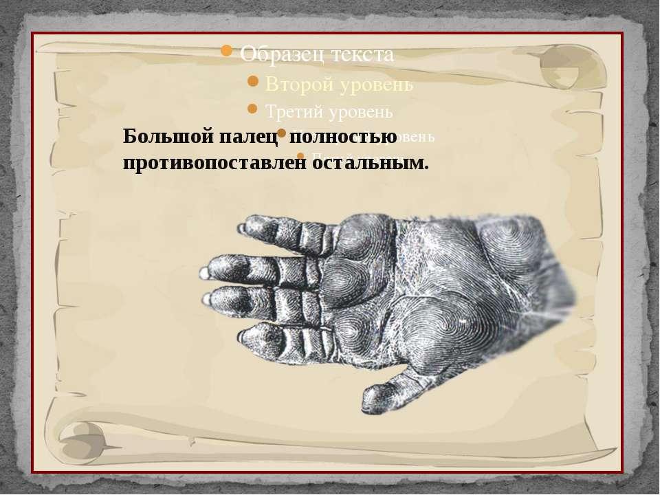 Большой палец полностью противопоставлен остальным.