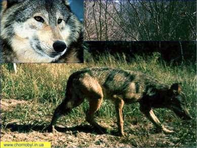 Волки Количество волчьих семей увеличивается. По мнению зоологов, проводивших...