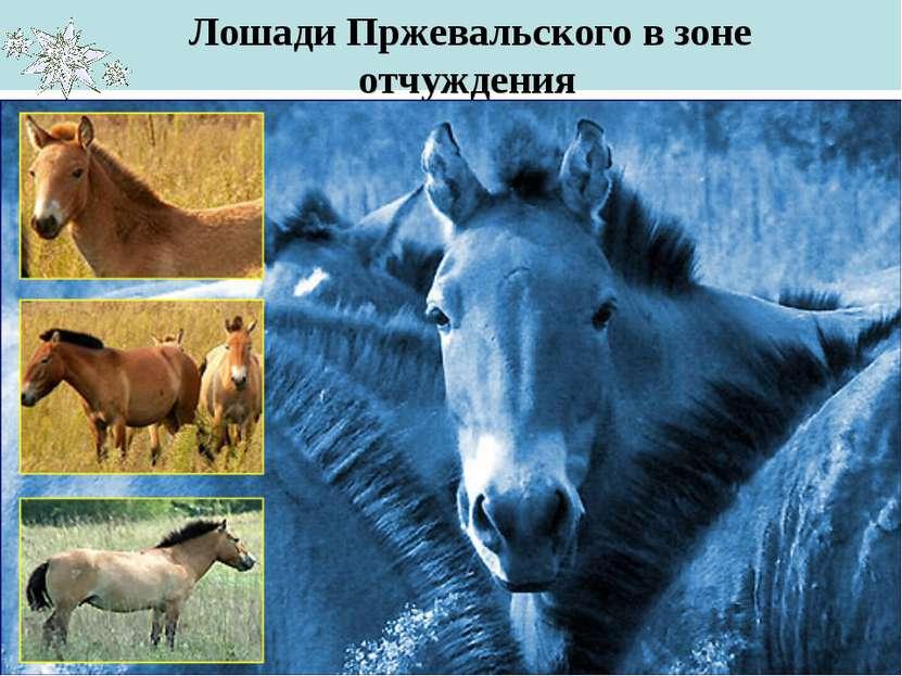 Лошади Пржевальского в зоне отчуждения … и многие другие виды животных…
