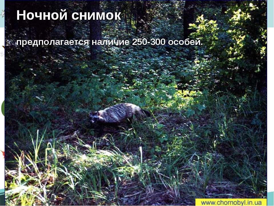Енотовидная собака Ночной снимок предполагается наличие 250-300 особей.