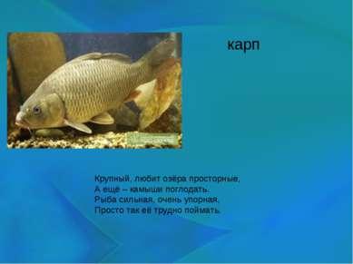 карп Крупный, любит озёра просторные, А ещё – камыши поглодать. Рыба сильная,...