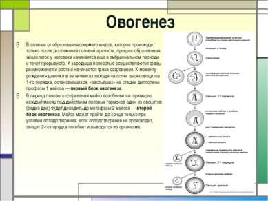 Овогенез В отличие от образования сперматозоидов, которое происходит только п...