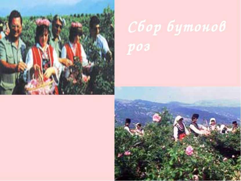 Сбор бутонов роз