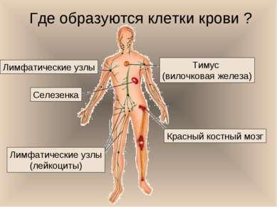 Где образуются клетки крови ? Селезенка Красный костный мозг Тимус (вилочкова...