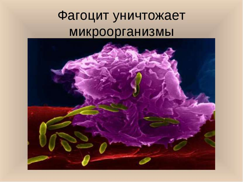 Фагоцит уничтожает микроорганизмы