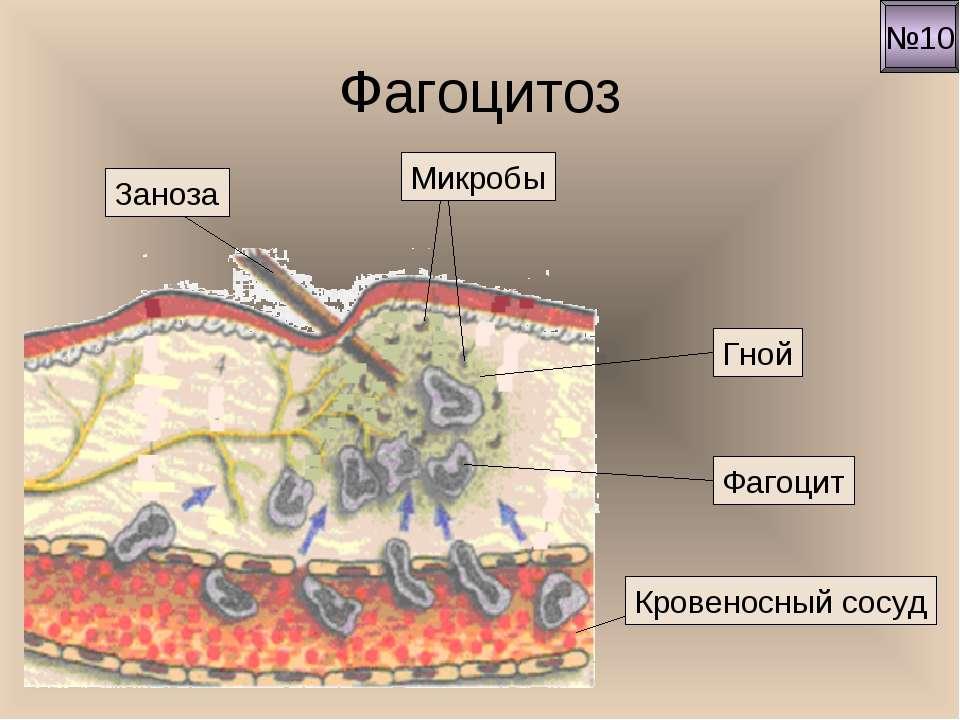 Фагоцитоз №10