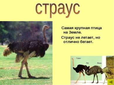 Самая крупная птица на Земле. Страус не летает, но отлично бегает.