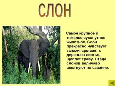 Самое крупное и тяжёлое сухопутное животное. Слон прекрасно чувствует запахи,...