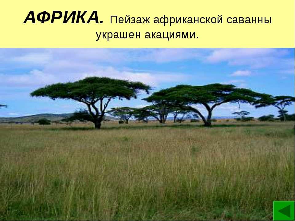АФРИКА. Пейзаж африканской саванны украшен акациями.