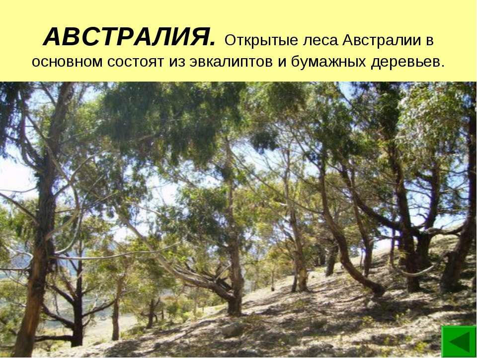 АВСТРАЛИЯ. Открытые леса Австралии в основном состоят из эвкалиптов и бумажны...