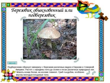 Березовик обыкновенный или подберезовик Подберезовик образует микоризу с бере...