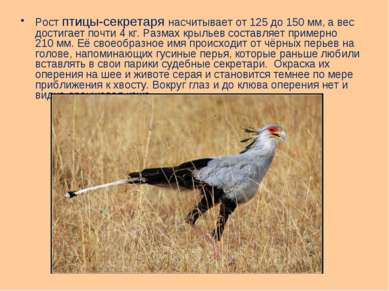 Рост птицы-секретаря насчитывает от 125 до 150мм, а вес достигает почти 4кг...