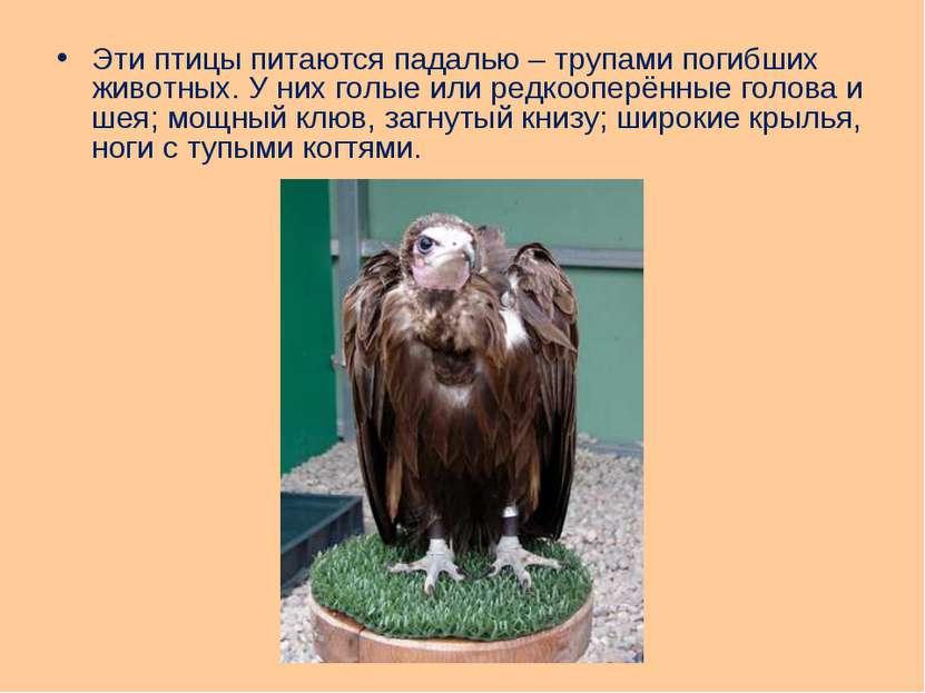 Эти птицы питаются падалью – трупами погибших животных. У них голые или редко...