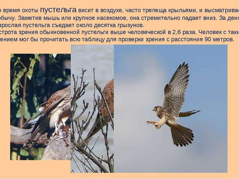 Во время охоты пустельга висит в воздухе, часто трепеща крыльями, и высматрив...