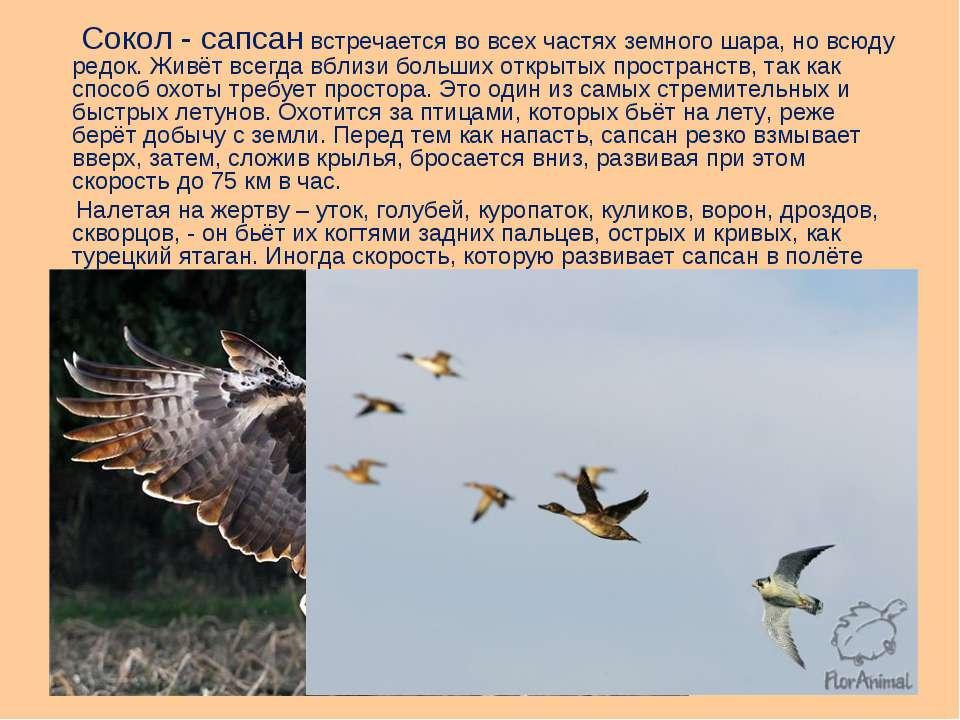 Сокол - сапсан встречается во всех частях земного шара, но всюду редок. Живёт...