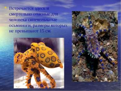 Встречается здесь и смертельно опасные для человека синекольчатые осьминоги, ...