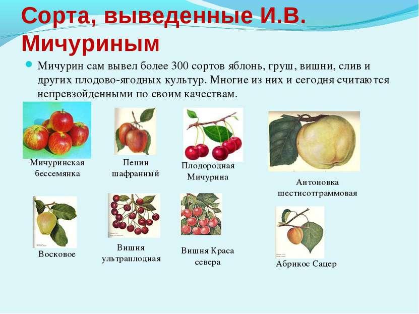 Сорта, выведенные И.В. Мичуриным Мичурин сам вывел более 300 сортов яблонь, г...