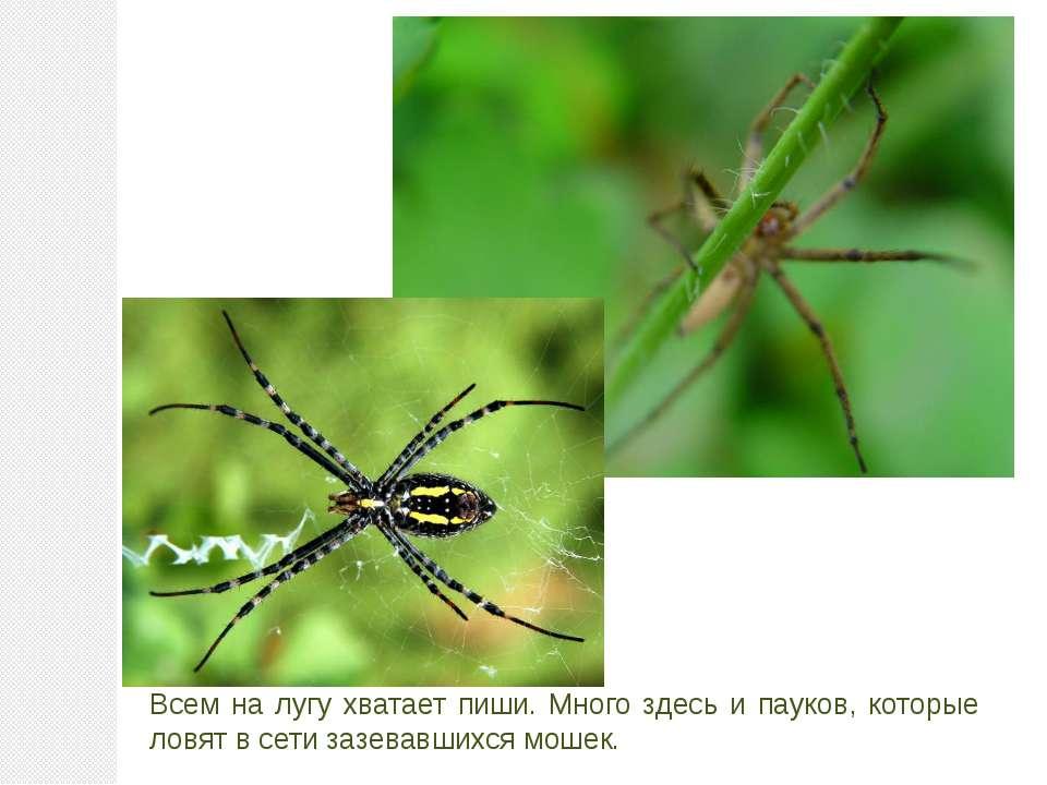 Всем на лугу хватает пиши. Много здесь и пауков, которые ловят в сети зазевав...