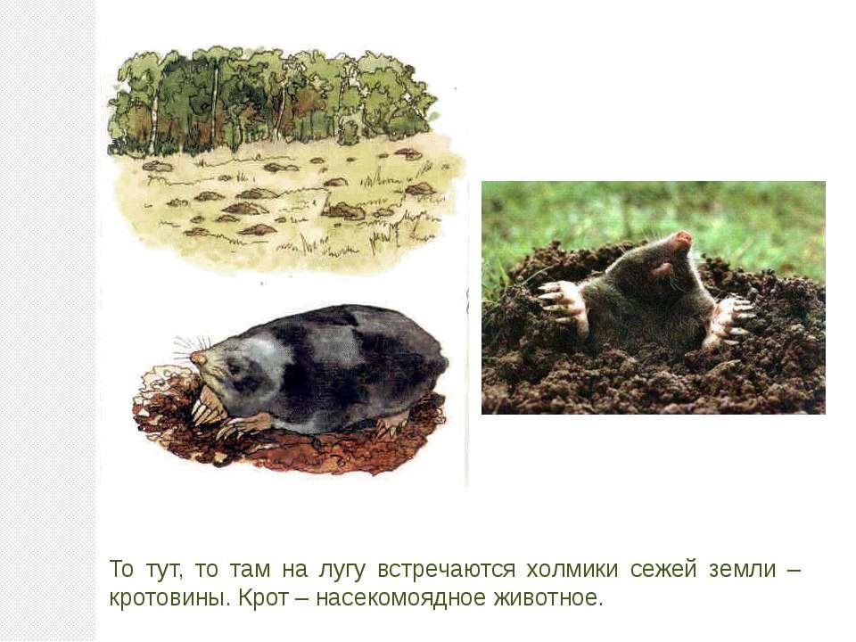 То тут, то там на лугу встречаются холмики сежей земли – кротовины. Крот – на...