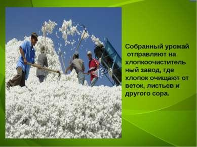 Собранный урожай отправляют на хлопкоочистительный завод, где хлопок очищают ...