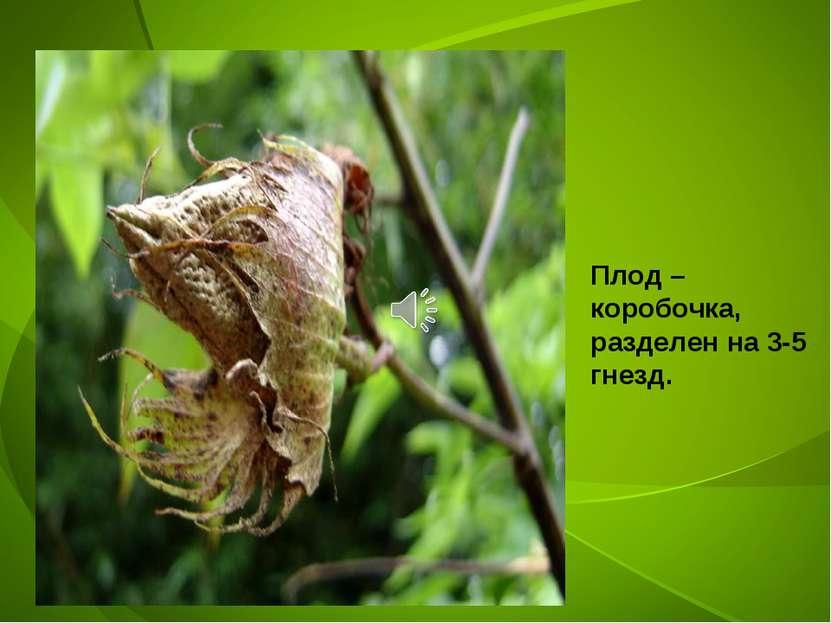 Плод – коробочка, разделен на 3-5 гнезд.
