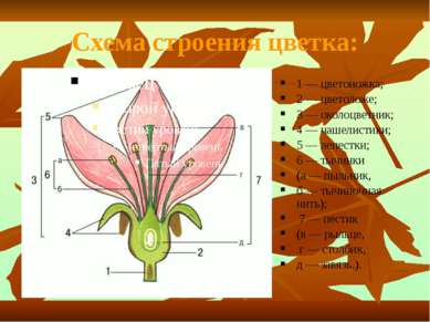 Схема строения цветка: 1 — цветоножка; 2 — цветоложе; 3 — околоцветник; 4 — ч...