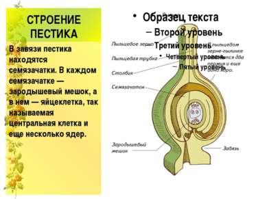 СТРОЕНИЕ ПЕСТИКА В завязи пестика находятся семязачатки. В каждом семязачатк...