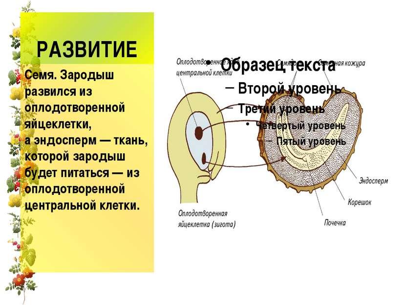 РАЗВИТИЕ Семя. Зародыш развился из оплодотворенной яйцеклетки, аэндосперм— ...