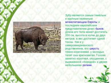 Зубр является самым тяжёлым и крупным наземным млекопитающим Европы и последн...