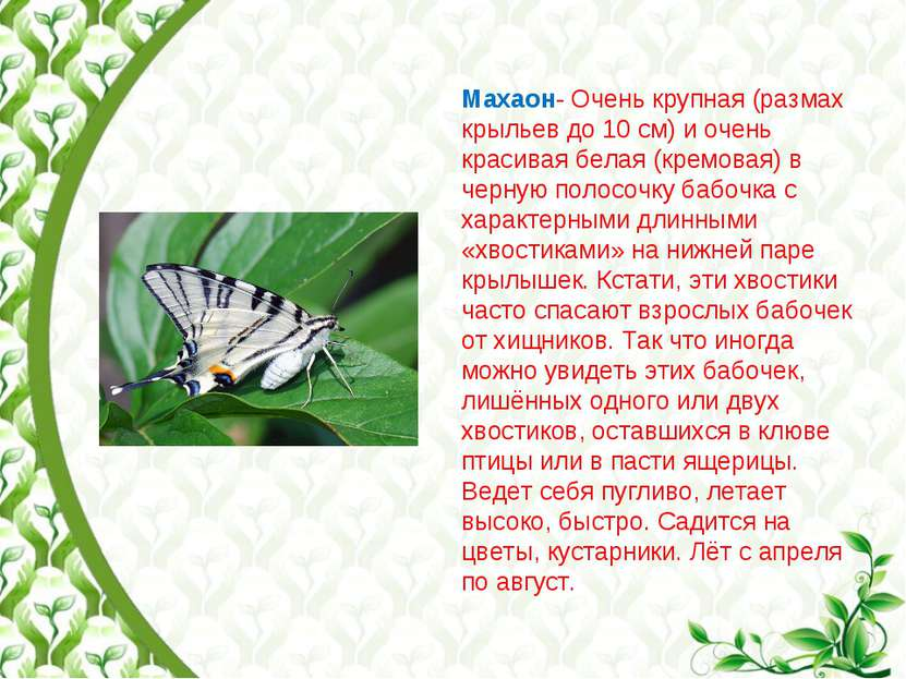 Махаон- Очень крупная (размах крыльев до 10 см) и очень красивая белая (кремо...