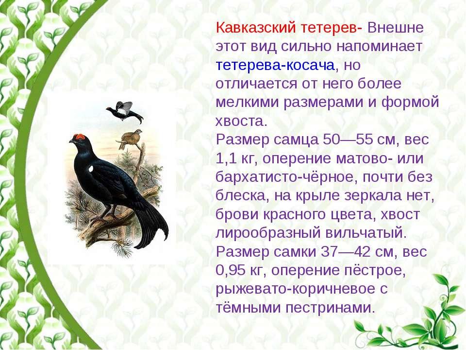 Кавказский тетерев- Внешне этот вид сильно напоминает тетерева-косача, но отл...
