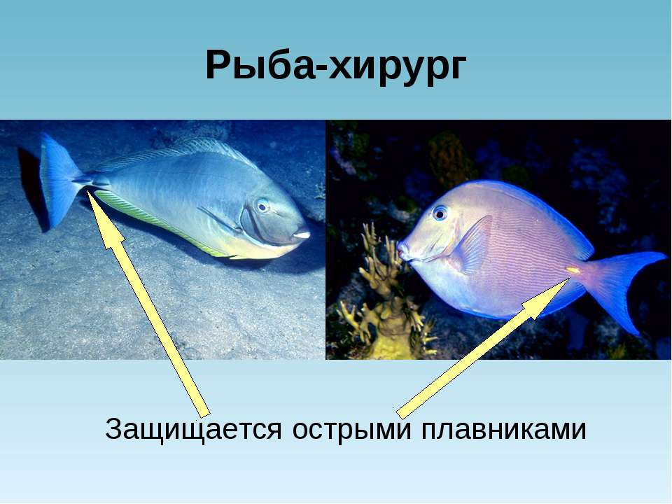 Рыба-хирург Защищается острыми плавниками